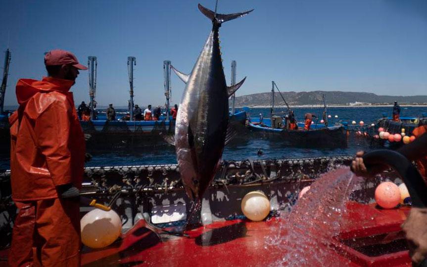 Atún de Barbate, la capital del atún rojo de almadraba está en España