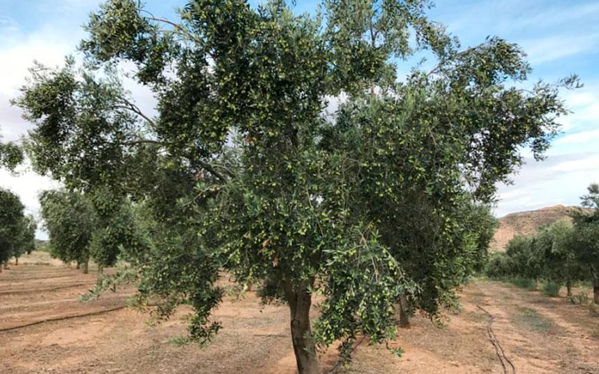 AOVE empeltre: ¿qué tiene de especial este aceite de oliva?