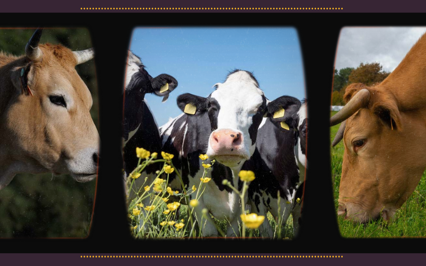 Descubre las mejores carnes de vacuno nacionales